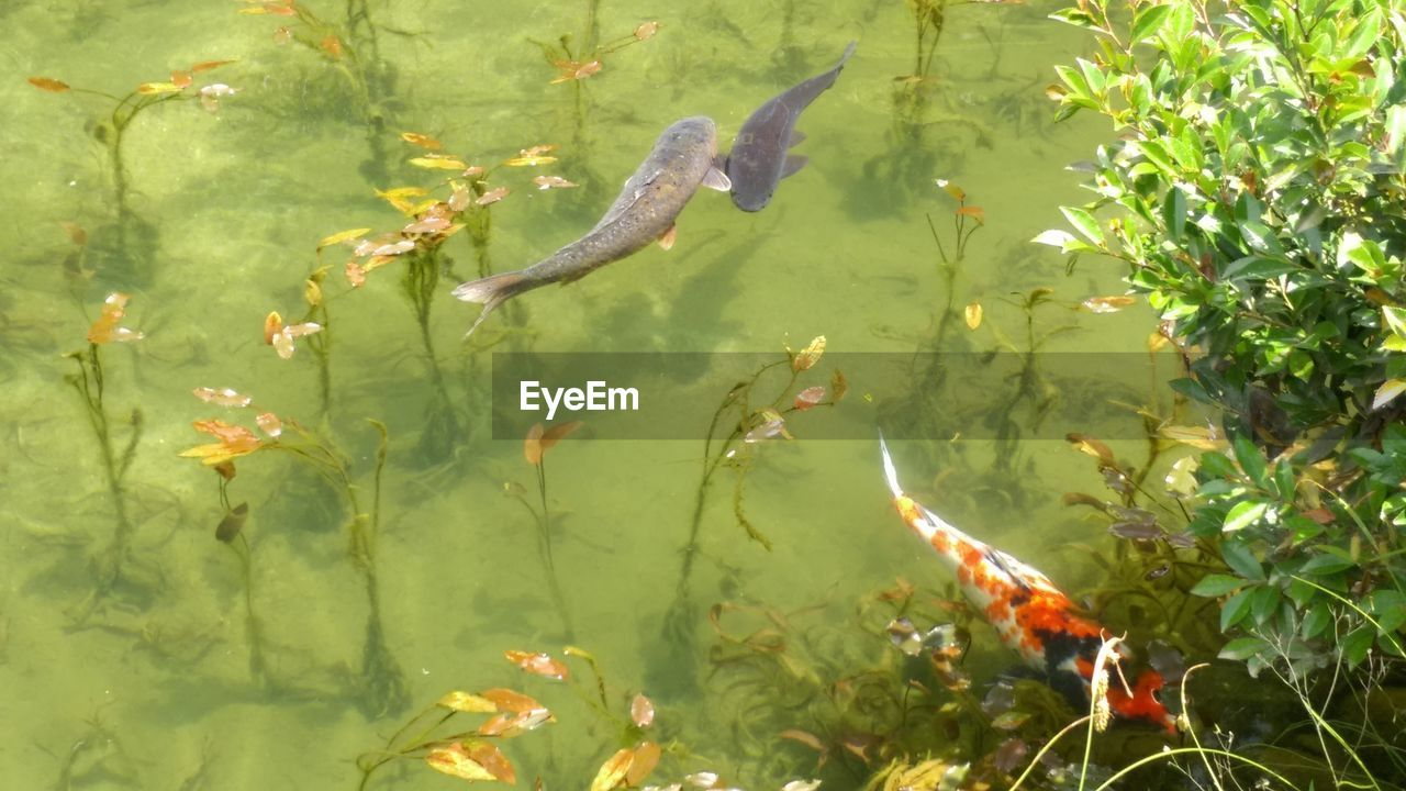 animal themes, water, fish, animals in the wild, swimming, nature, carp, koi carp, wildlife, one animal, no people, day, green color, sea life, outdoors, leaf, plant, growth, lake, animal wildlife, tree, close-up