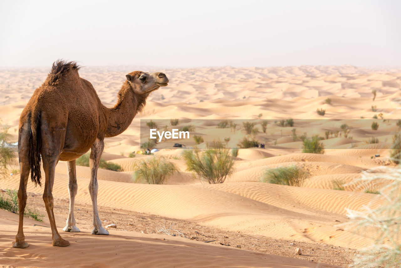 desert, animal themes, mammal, animal, land, camel, climate, one animal, sand, domestic animals, arid climate, vertebrate, landscape, environment, sand dune, nature, sky, scenics - nature, pets, domestic, no people, herbivorous, outdoors