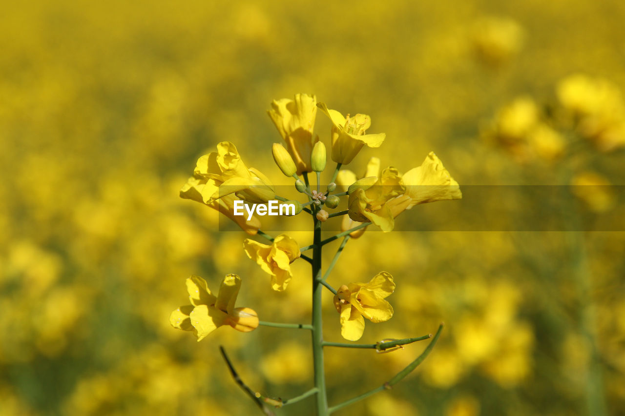 flowering plant, flower, plant, fragility, beauty in nature, vulnerability, yellow, growth, freshness, close-up, focus on foreground, petal, nature, no people, day, oilseed rape, selective focus, field, flower head, outdoors, springtime