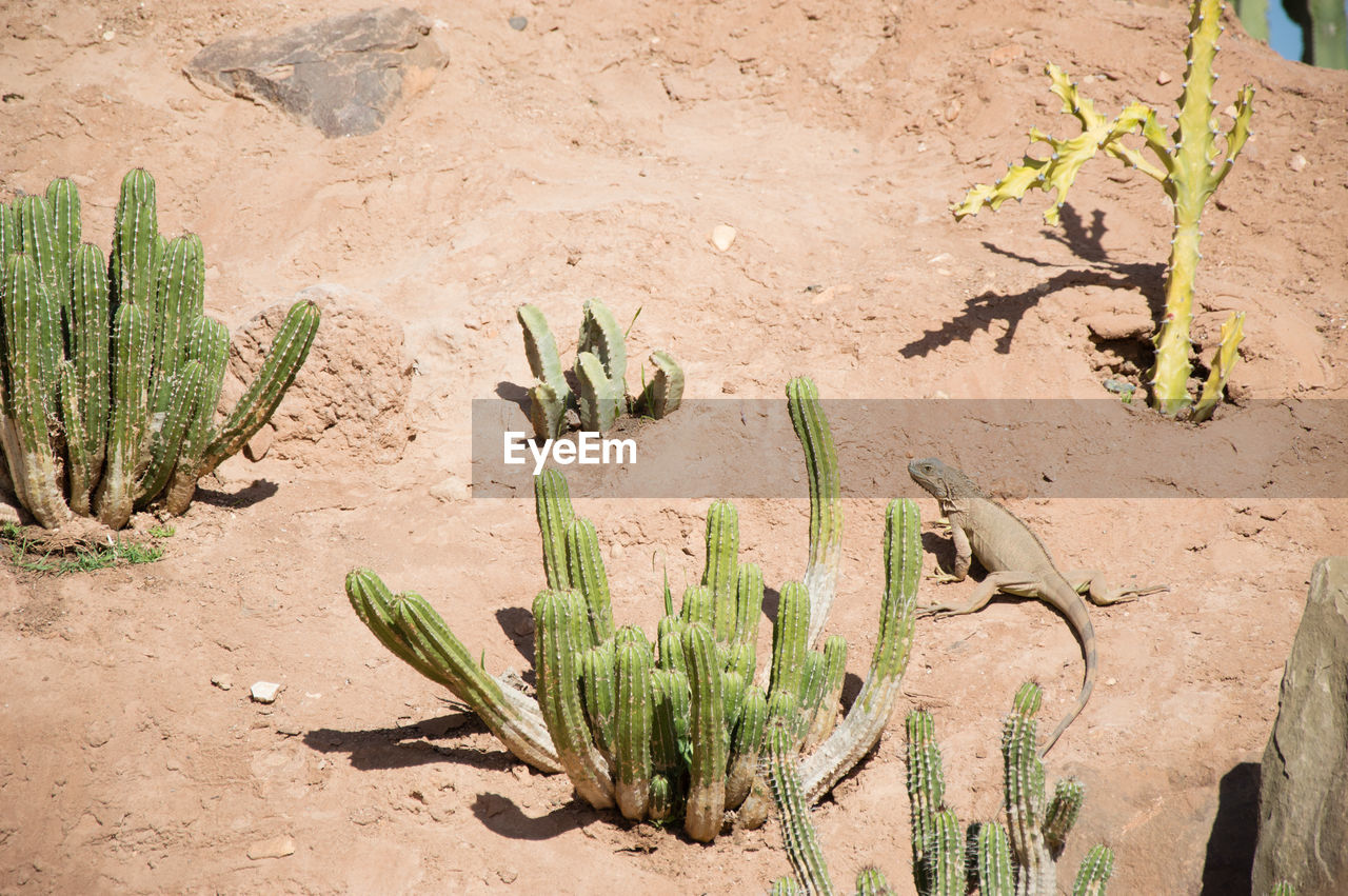 growth, land, plant, succulent plant, cactus, nature, no people, green color, field, day, desert, sunlight, arid climate, high angle view, climate, outdoors, sand, beauty in nature, tranquility, scenics - nature, semi-arid