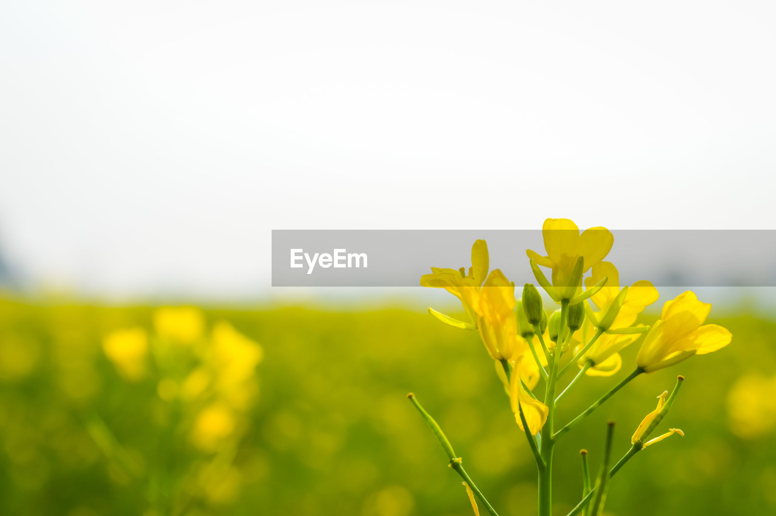 CLOSE-UP OF FRESH YELLOW FLOWER PLANT AGAINST SKY