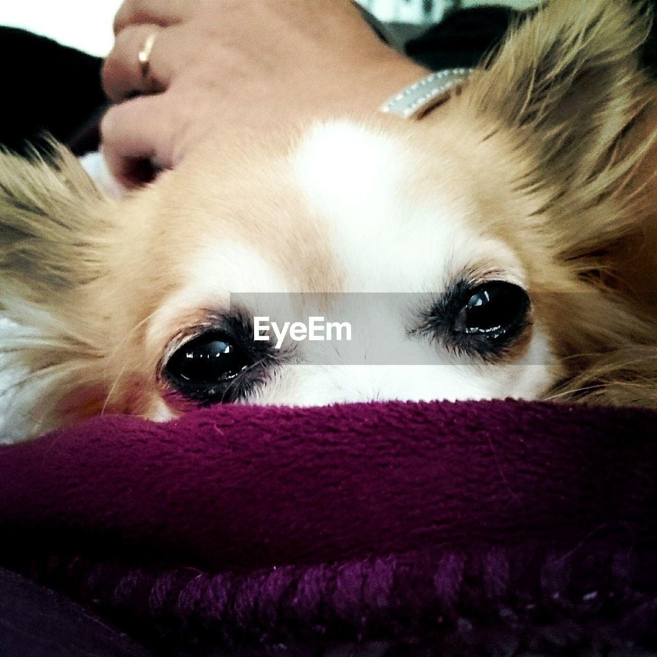 Close-Up Of Chihuahua Eyes