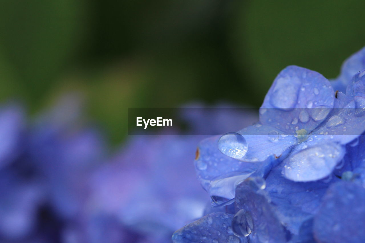 flowering plant, vulnerability, fragility, flower, water, drop, beauty in nature, petal, freshness, plant, growth, close-up, inflorescence, wet, flower head, purple, nature, selective focus, day, no people, springtime, raindrop, dew, rain, purity, rainy season