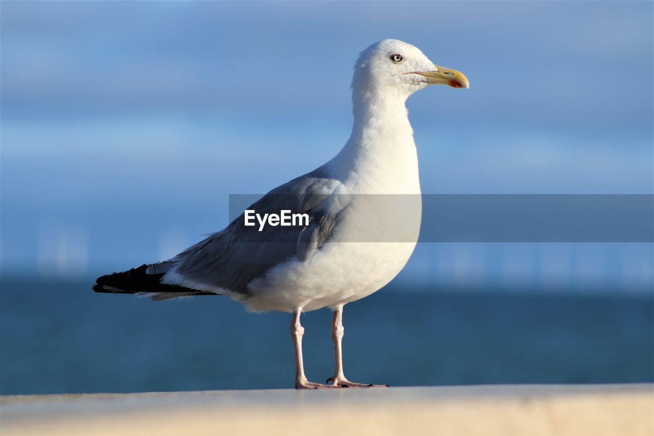 bird, animal, vertebrate, one animal, animal themes, animals in the wild, animal wildlife, water, seagull, perching, sea, focus on foreground, day, no people, close-up, nature, sea bird, side view, outdoors