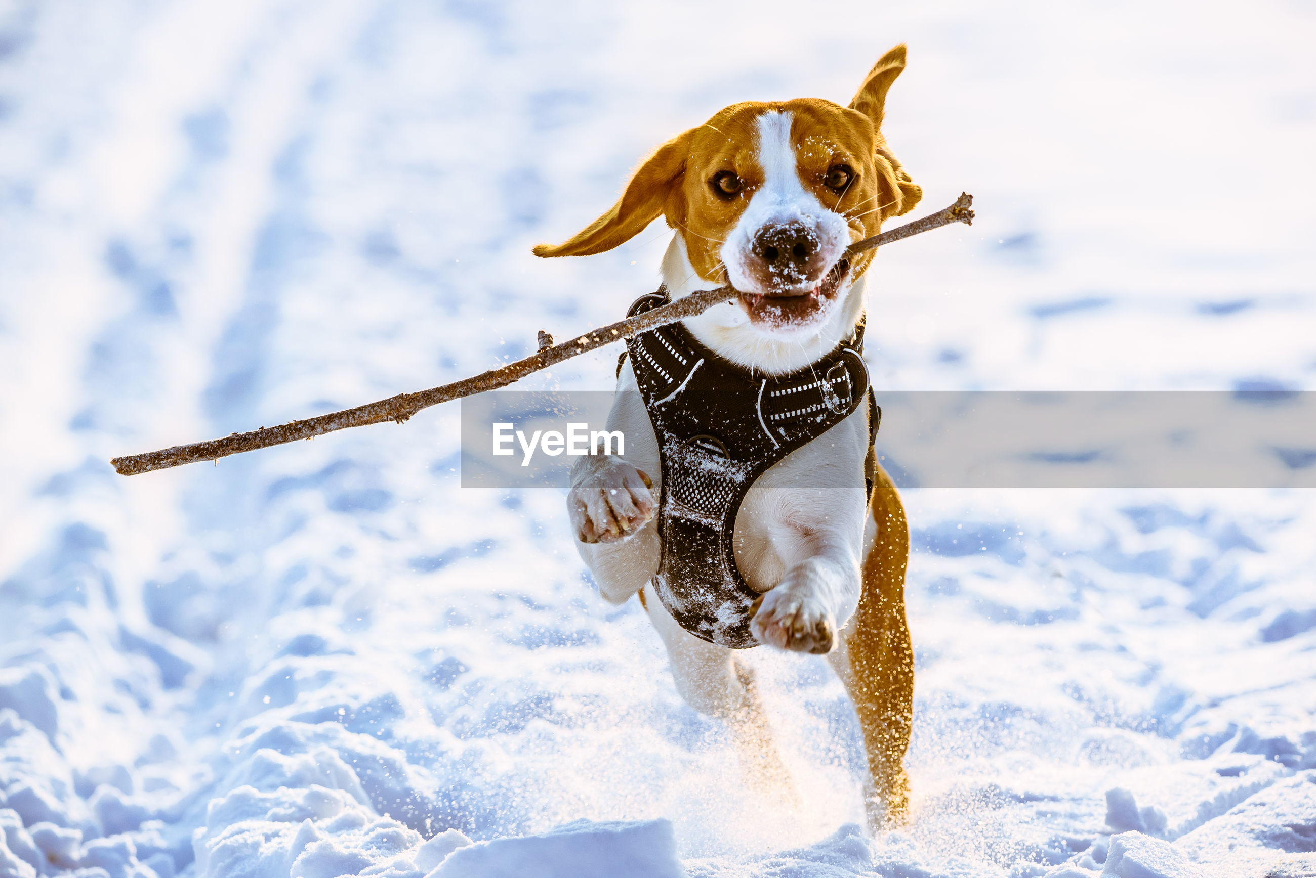 Beagle dog runs with a stick towards camera in a winter sunny day