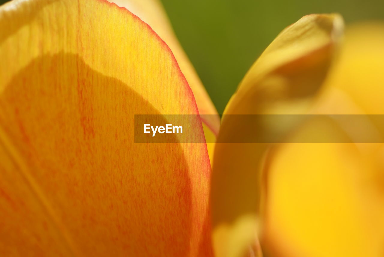 close-up, selective focus, yellow, flowering plant, orange color, no people, flower, freshness, beauty in nature, petal, plant, vulnerability, growth, fragility, flower head, still life, inflorescence, indoors, nature, day
