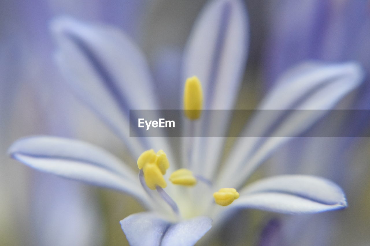 flowering plant, vulnerability, fragility, flower, beauty in nature, freshness, petal, close-up, plant, inflorescence, flower head, growth, white color, selective focus, no people, nature, pollen, focus on foreground, yellow, springtime, crocus, purple, softness