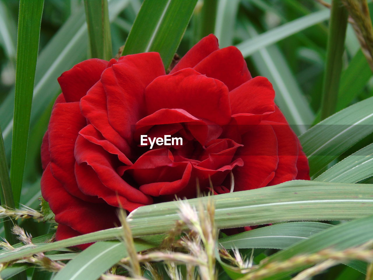 flower, red, beauty in nature, nature, petal, fragility, plant, growth, flower head, close-up, no people, freshness, leaf, outdoors, day