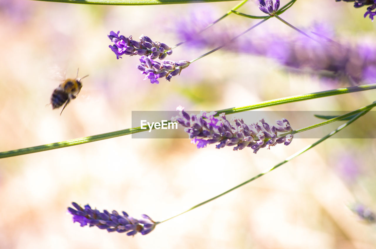 flowering plant, flower, beauty in nature, purple, fragility, invertebrate, animal themes, vulnerability, insect, animal, plant, freshness, animal wildlife, animals in the wild, one animal, growth, close-up, bee, petal, focus on foreground, lavender, flower head, pollination, no people, springtime