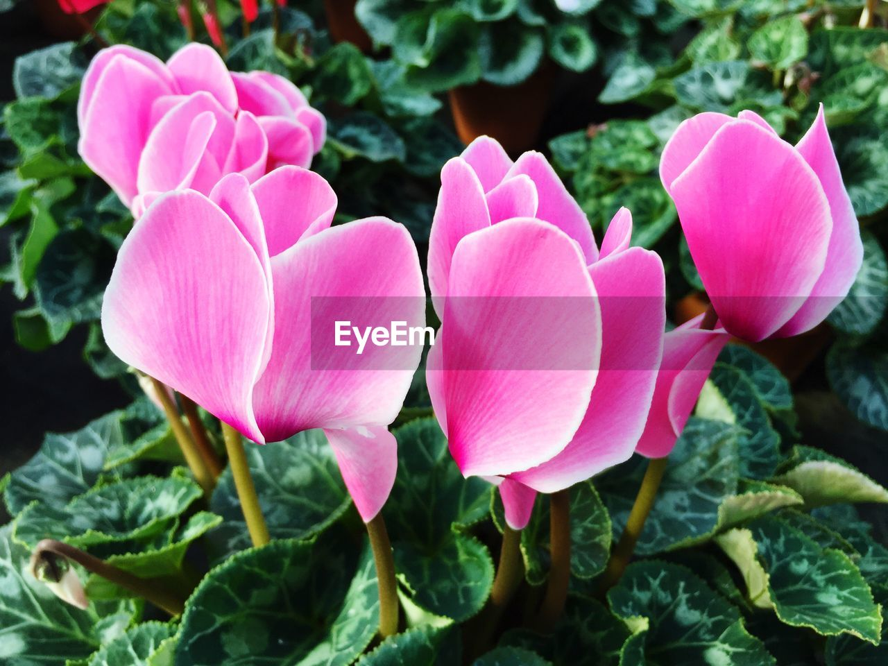flower, petal, growth, nature, pink color, beauty in nature, plant, freshness, fragility, flower head, leaf, blooming, no people, outdoors, day, close-up, periwinkle