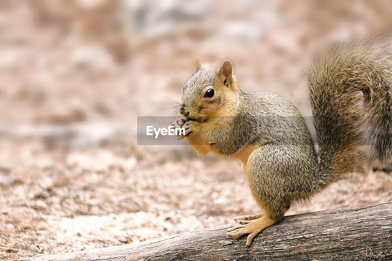 animal wildlife, animal, animal themes, animals in the wild, rodent, one animal, mammal, squirrel, focus on foreground, vertebrate, eating, no people, close-up, food, day, chipmunk, nature, food and drink, wood - material, nut, whisker, profile view
