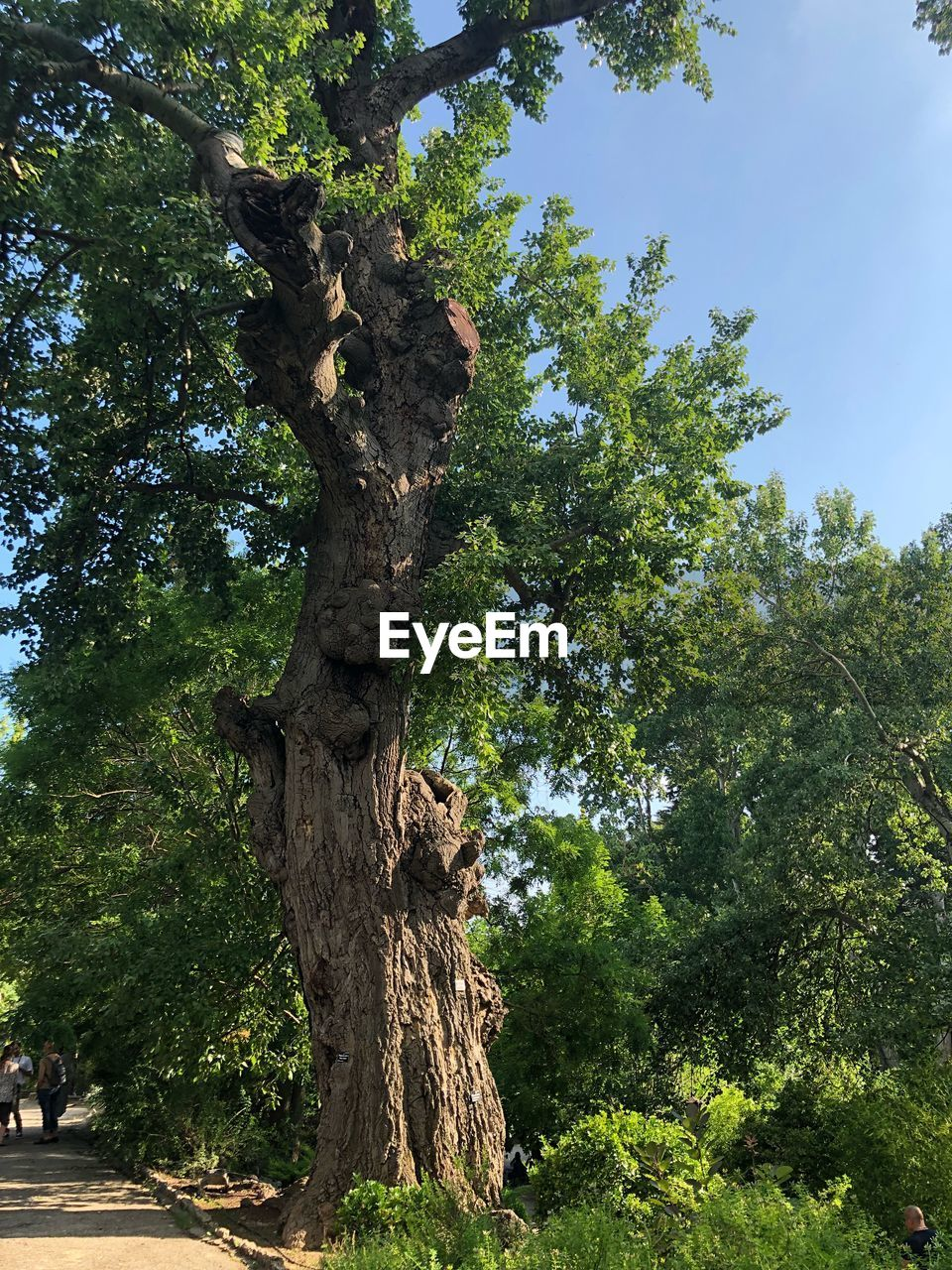tree, plant, trunk, tree trunk, growth, nature, green color, sky, beauty in nature, day, tranquility, no people, low angle view, land, outdoors, sunlight, forest, branch, scenics - nature, tranquil scene, bark