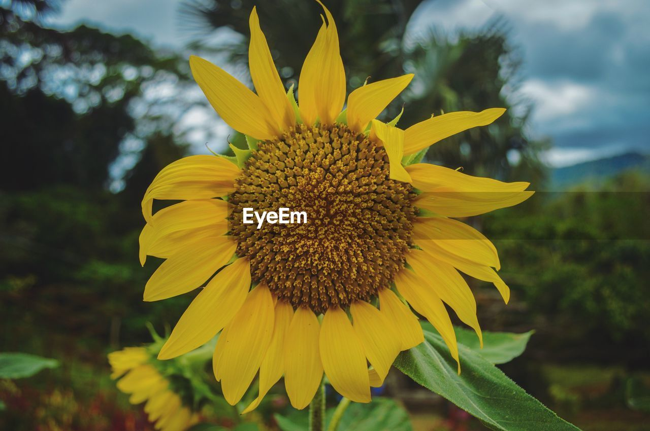 flower, yellow, fragility, petal, flower head, nature, freshness, growth, beauty in nature, pollen, focus on foreground, outdoors, day, plant, sunflower, close-up, springtime, blooming, no people