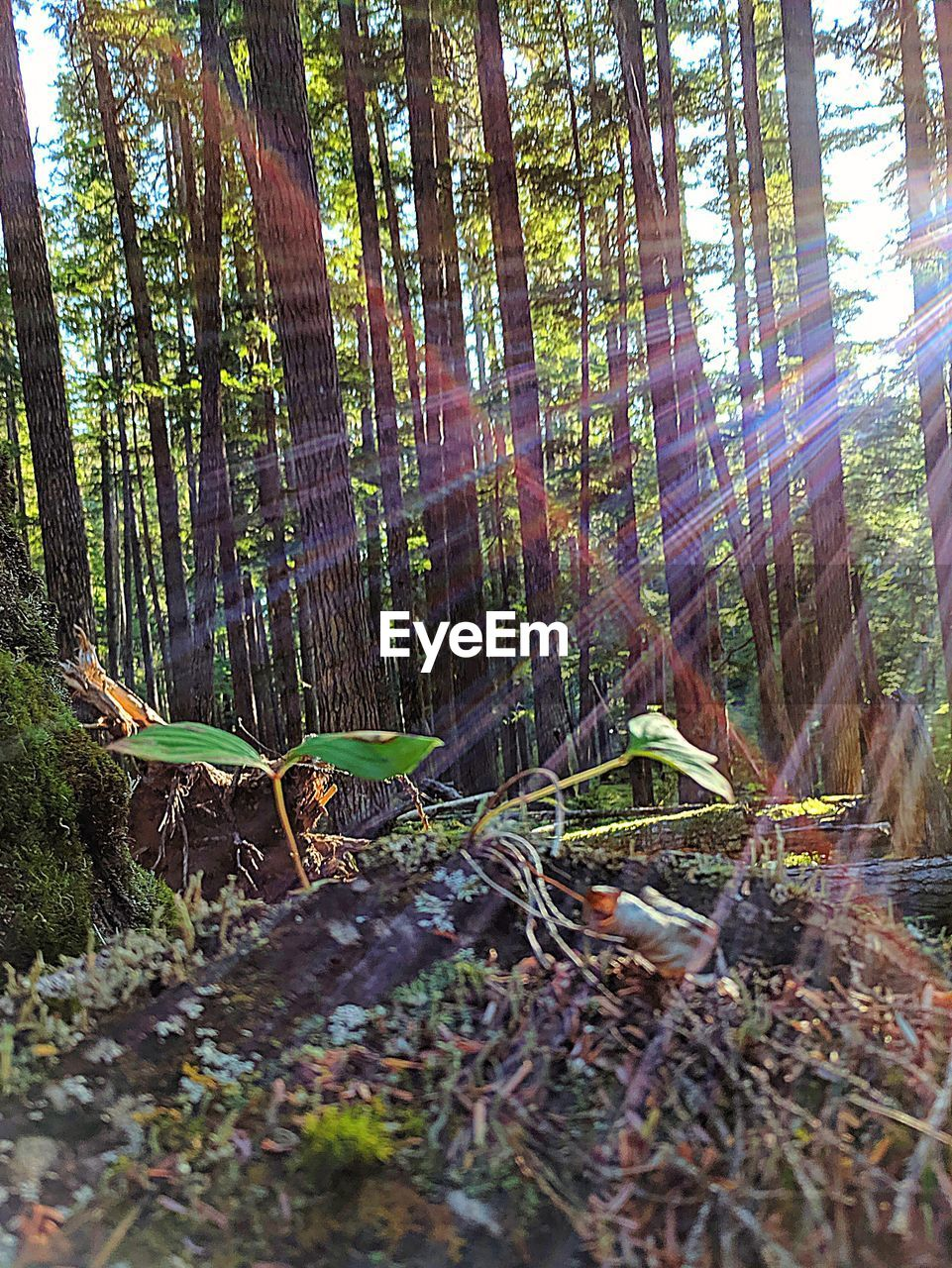 tree, forest, plant, tree trunk, trunk, land, growth, nature, woodland, tranquility, day, beauty in nature, sunlight, no people, tranquil scene, non-urban scene, outdoors, scenics - nature, timber, wood, lens flare, bark