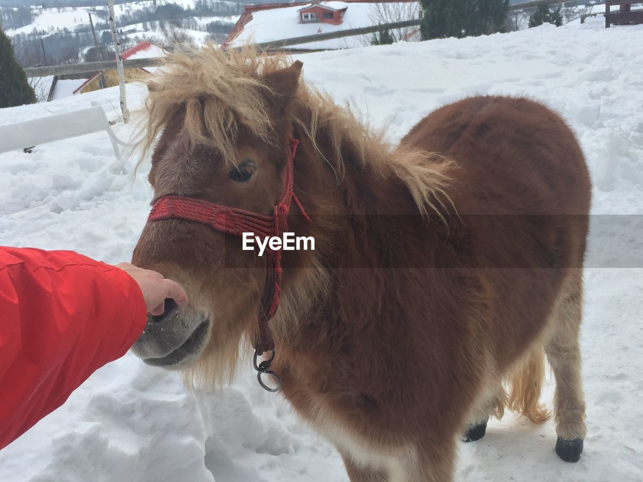 Cropped hand of person touching horse on snowy field