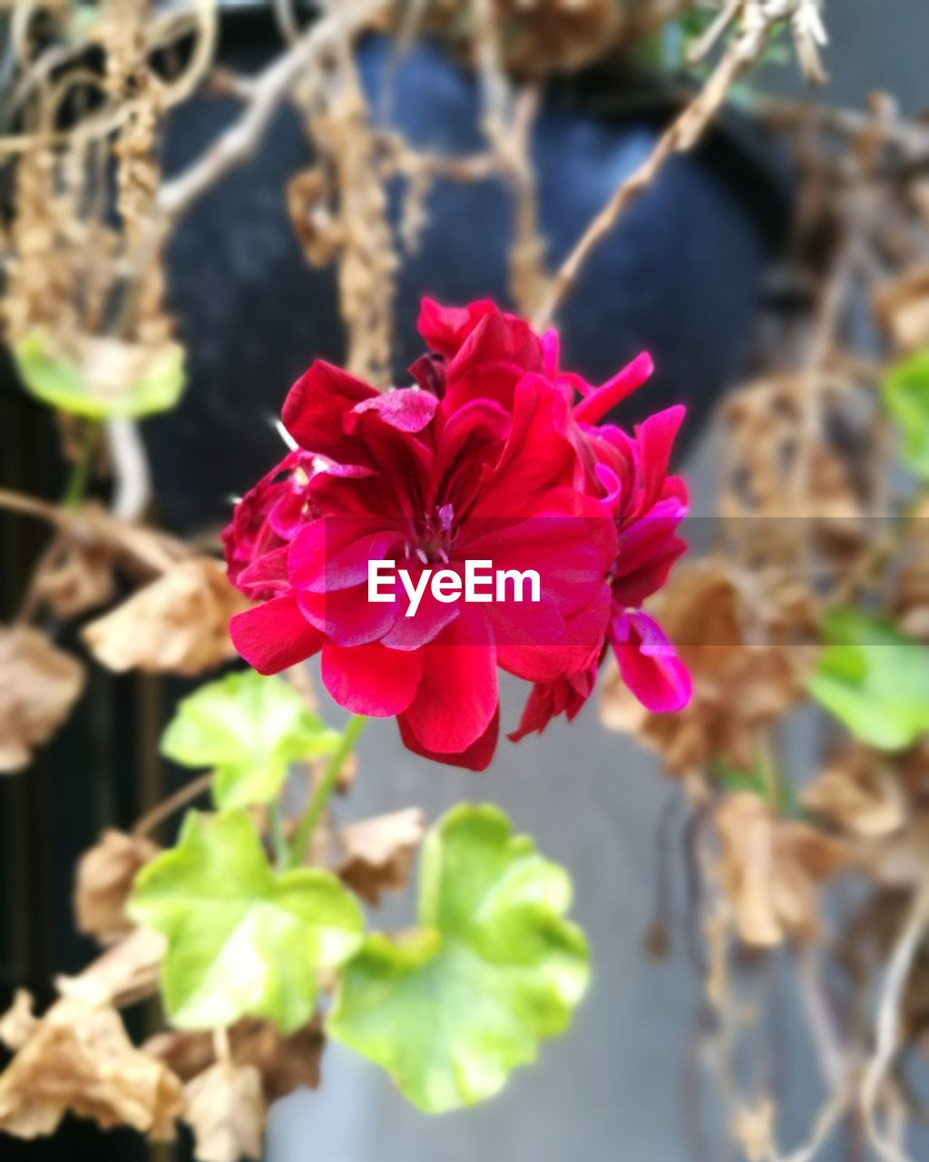 flower, pink color, beauty in nature, fragility, petal, nature, focus on foreground, no people, growth, close-up, day, flower head, outdoors, freshness, plant, blooming