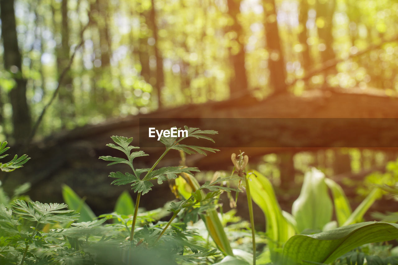 growth, plant, land, forest, nature, tree, plant part, day, beauty in nature, leaf, no people, green color, outdoors, tranquility, focus on foreground, close-up, vulnerability, sunlight, selective focus, environment, woodland, leaves, bamboo - plant