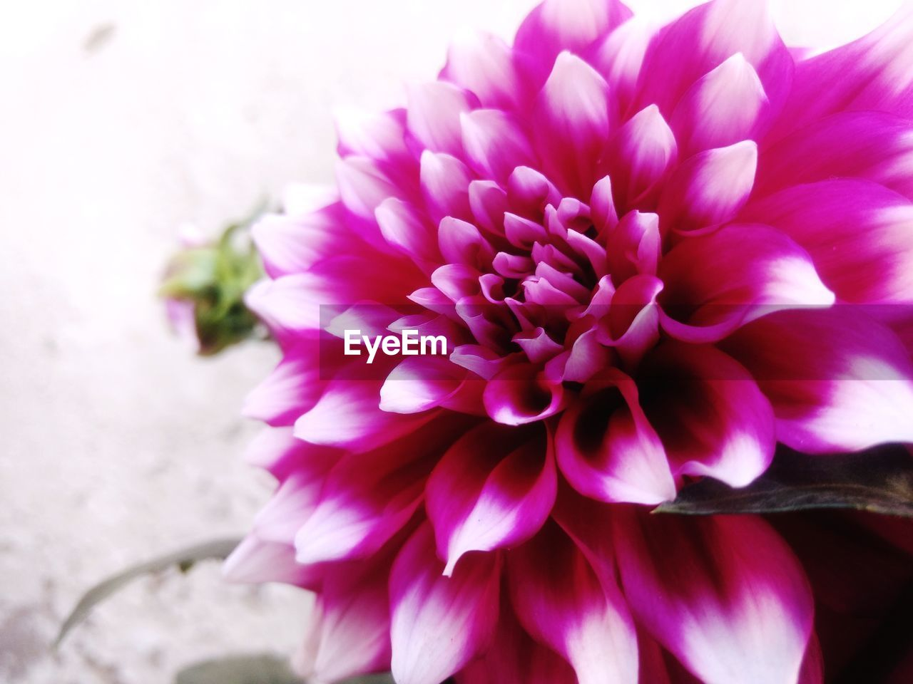 flower, petal, nature, beauty in nature, fragility, freshness, flower head, purple, no people, close-up, growth, pink color, plant, outdoors, day, blooming