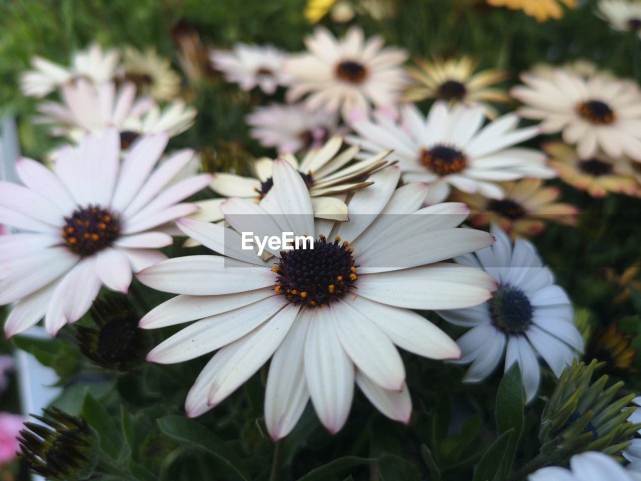 flower, flowering plant, plant, fragility, vulnerability, petal, freshness, growth, flower head, beauty in nature, inflorescence, osteospermum, close-up, white color, nature, focus on foreground, no people, pollen, day, daisy