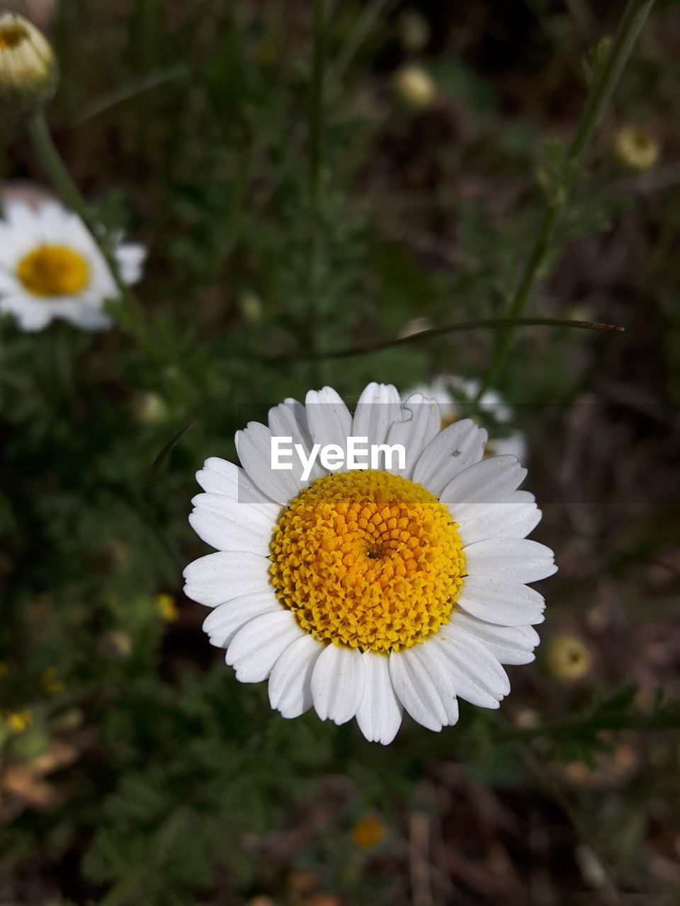 flower, petal, white color, freshness, flower head, fragility, growth, nature, blooming, no people, beauty in nature, plant, outdoors, close-up, day