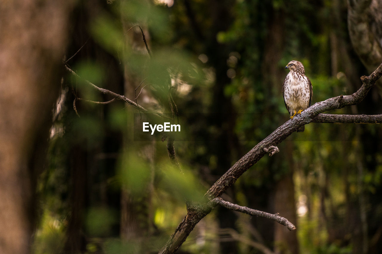 bird, animal, vertebrate, animal wildlife, animal themes, plant, animals in the wild, tree, nature, perching, focus on foreground, branch, day, no people, one animal, selective focus, growth, outdoors, close-up, bird of prey