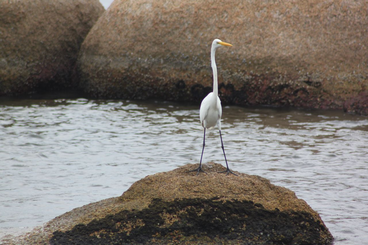 rock - object, water, one animal, animals in the wild, animal themes, lake, nature, animal wildlife, bird, no people, day, outdoors, perching, great egret, beauty in nature, close-up