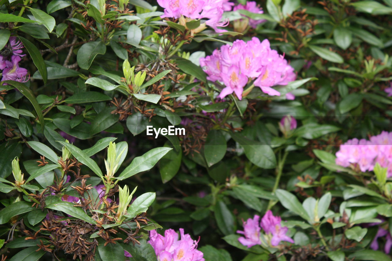flower, growth, leaf, plant, nature, fragility, beauty in nature, pink color, no people, day, green color, petal, blooming, outdoors, freshness, flower head, close-up, periwinkle