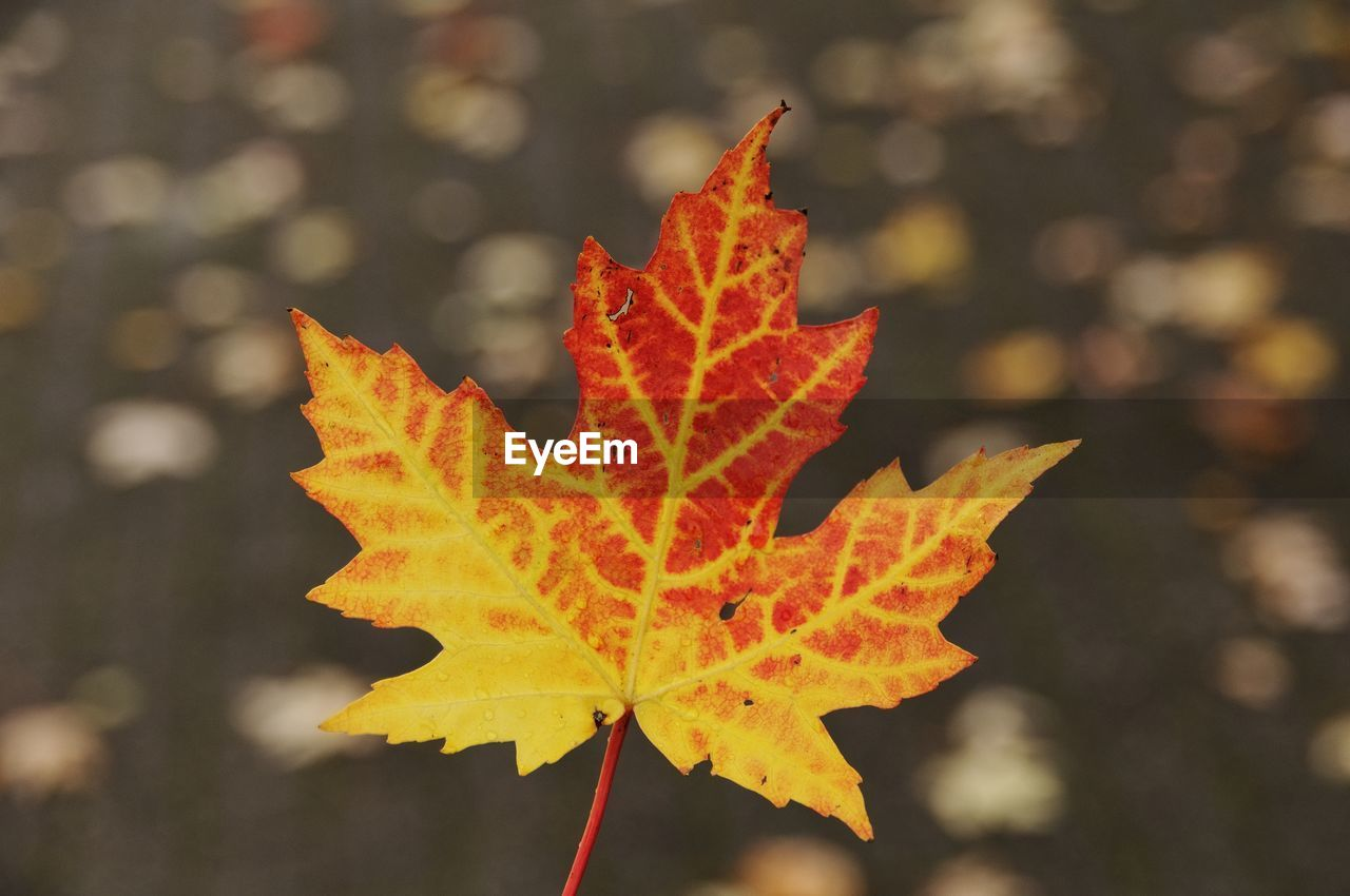 leaf, plant part, autumn, change, maple leaf, focus on foreground, nature, close-up, orange color, beauty in nature, plant, day, no people, outdoors, leaf vein, sunlight, tree, natural pattern, yellow, dry, leaves, autumn collection, natural condition