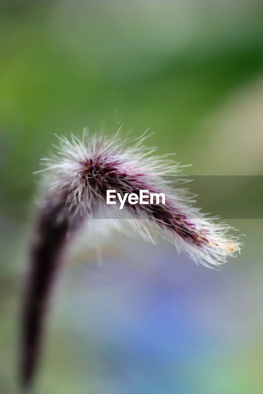 flower, fragility, vulnerability, plant, flowering plant, close-up, beauty in nature, growth, freshness, nature, selective focus, no people, dandelion, day, focus on foreground, inflorescence, flower head, outdoors, softness, dandelion seed, spiky, sepal