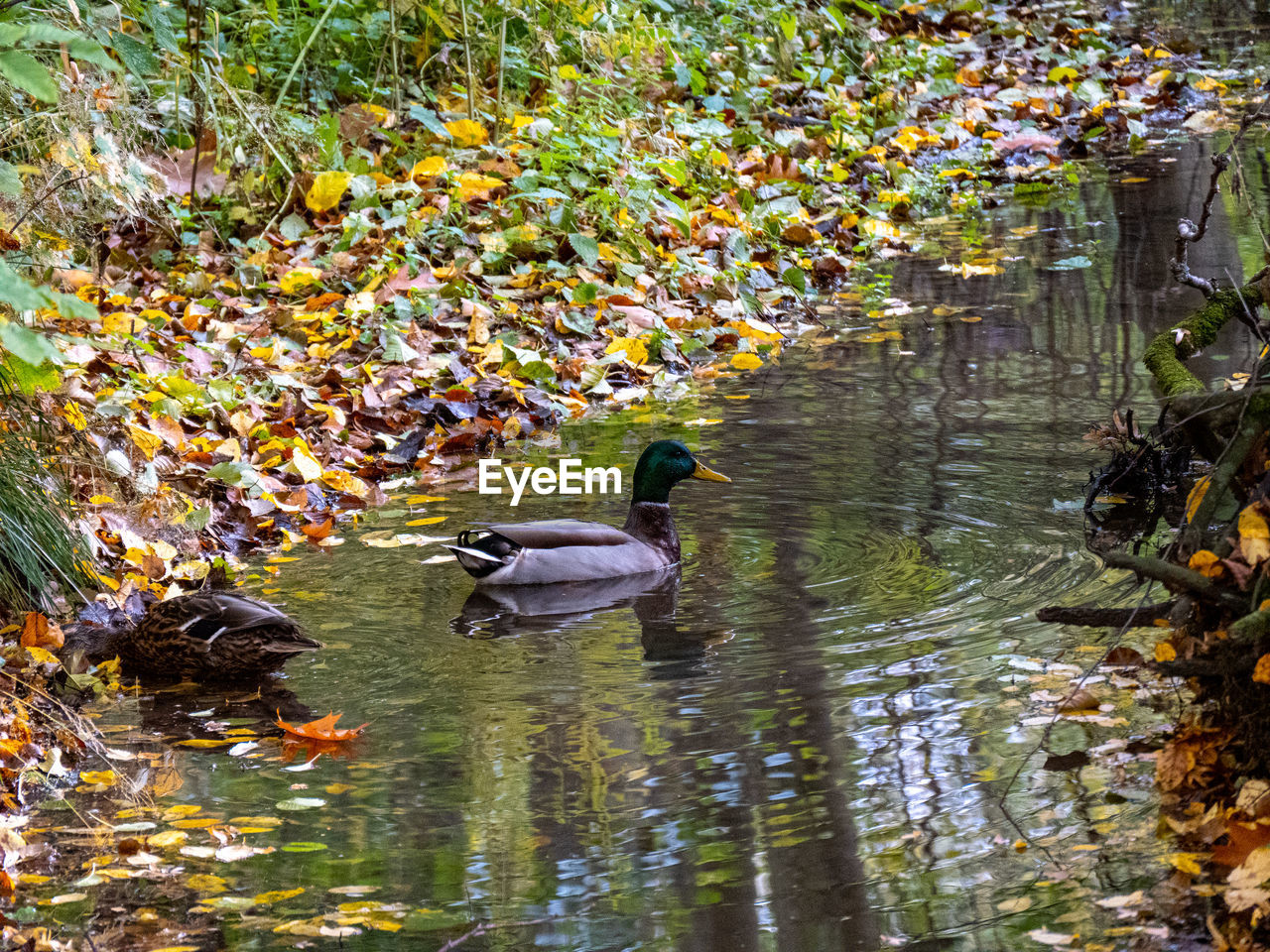 animals in the wild, water, animal wildlife, bird, animal themes, animal, lake, vertebrate, swimming, group of animals, nature, day, no people, leaf, reflection, plant part, plant, outdoors, poultry, duck, floating on water, animal family