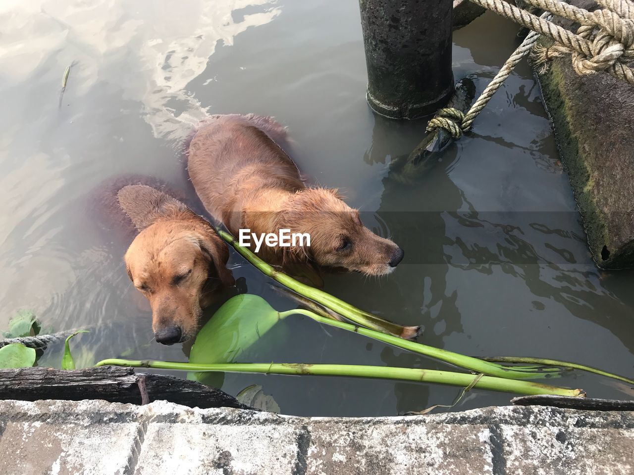 water, animal, animal themes, vertebrate, lake, one animal, mammal, canine, dog, pets, domestic animals, domestic, no people, nature, day, outdoors, animals in the wild, retriever, drinking