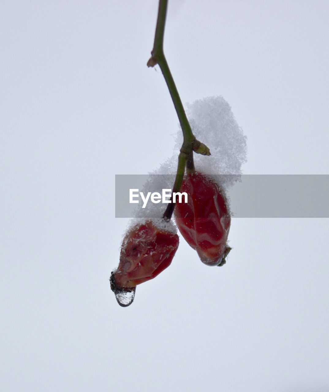 Low angle view of rosehip berries covering with frost