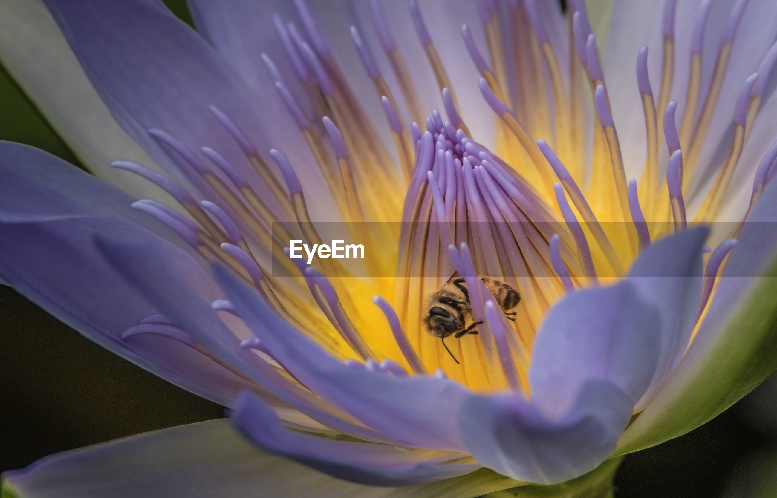 High angle view of bee on purple lotus water lily