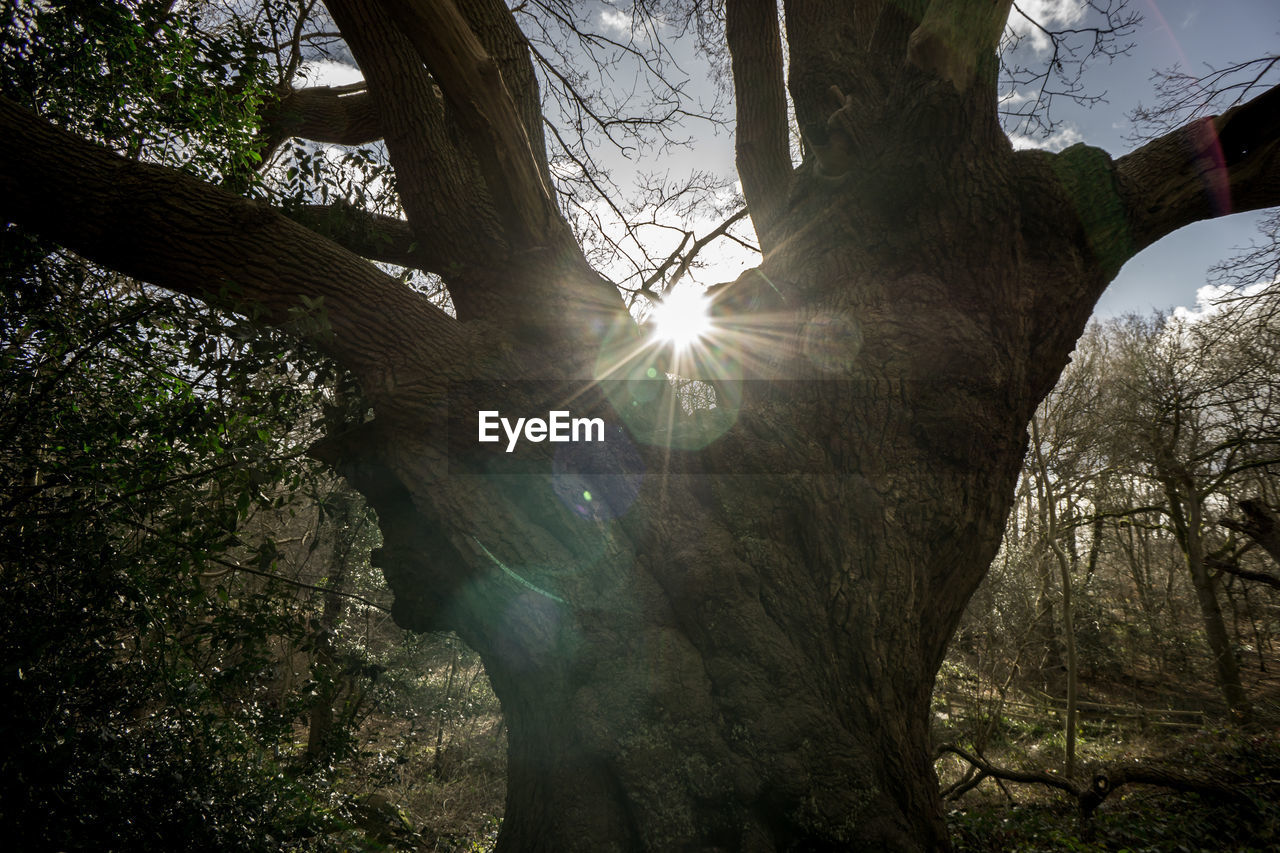 lens flare, tree, sun, sunbeam, tree trunk, sunlight, nature, branch, low angle view, no people, forest, growth, outdoors, day, beauty in nature