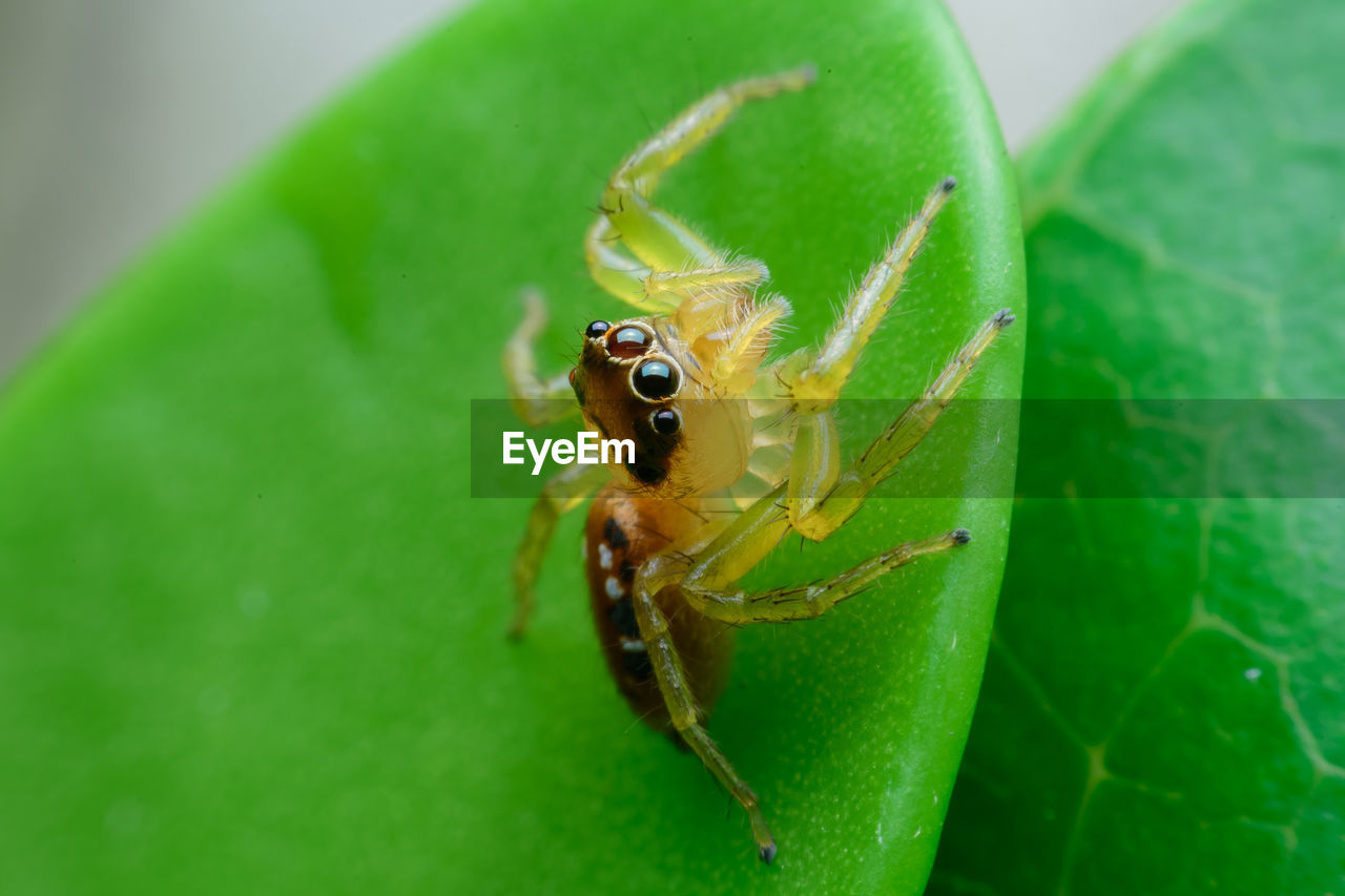 green color, invertebrate, insect, animal themes, one animal, animals in the wild, animal, animal wildlife, plant part, close-up, leaf, arachnid, spider, nature, arthropod, no people, jumping spider, zoology, plant, day, outdoors, animal eye