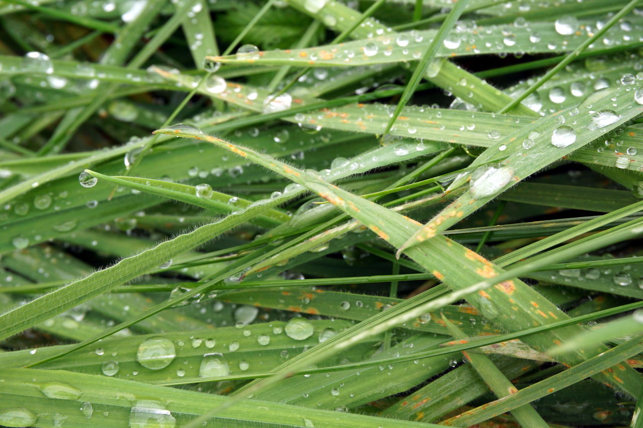 drop, green color, water, wet, leaf, plant, nature, growth, close-up, plant part, no people, full frame, rain, beauty in nature, backgrounds, day, raindrop, dew, blade of grass, outdoors, purity, rainy season, leaves