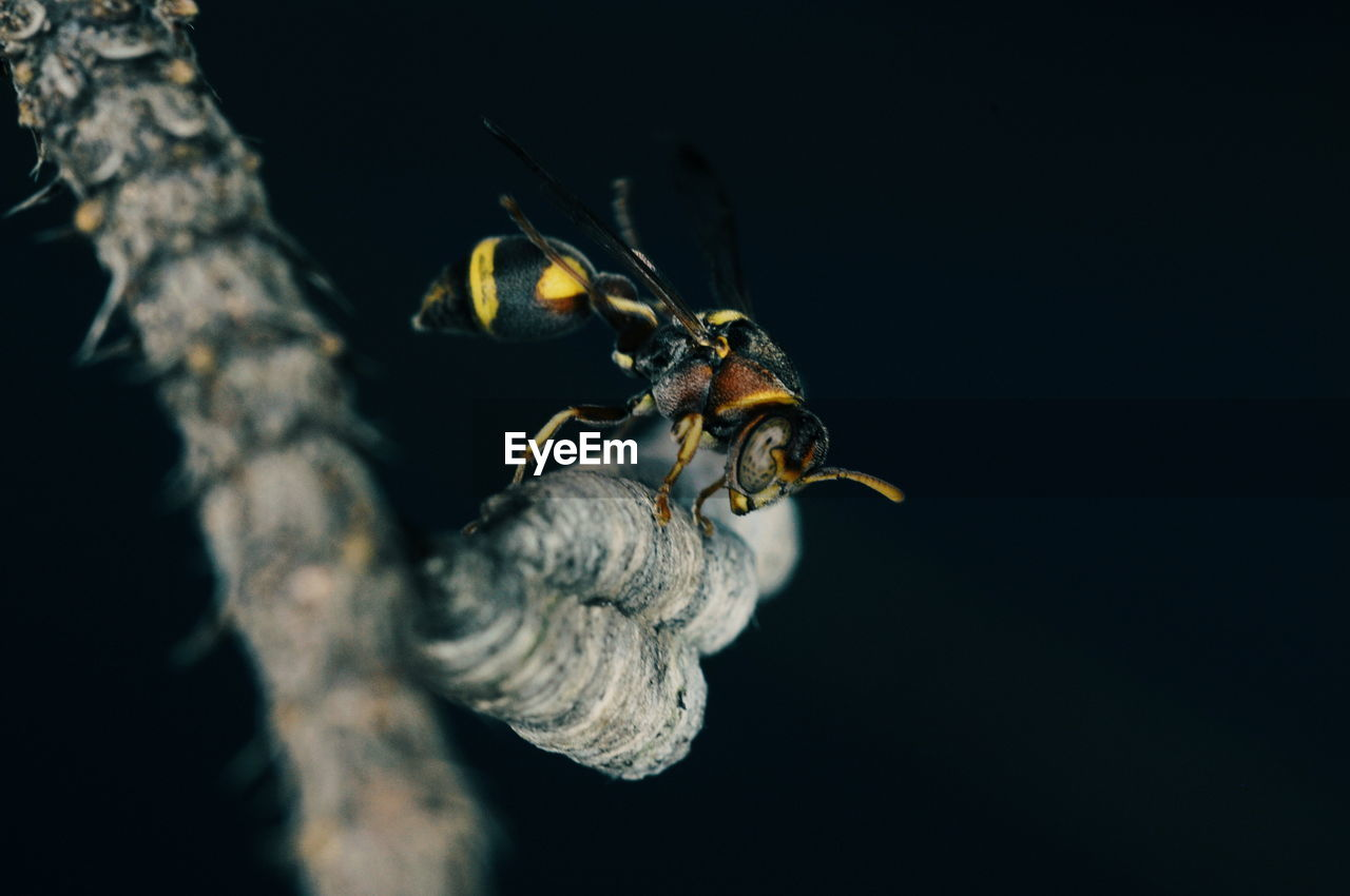 animal wildlife, animals in the wild, animal, animal themes, invertebrate, one animal, close-up, insect, nature, no people, zoology, copy space, animal shell, selective focus, bee, outdoors, night, shell, black background, marine