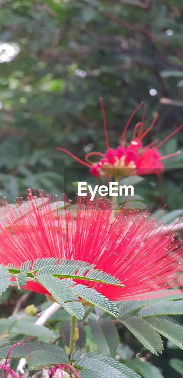 plant, growth, beauty in nature, close-up, flower, freshness, red, flowering plant, day, fragility, vulnerability, nature, focus on foreground, leaf, plant part, petal, no people, flower head, inflorescence, green color, outdoors