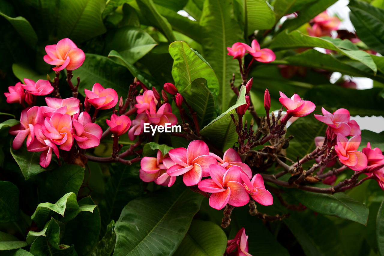 flowering plant, flower, plant, beauty in nature, growth, plant part, petal, leaf, freshness, vulnerability, fragility, pink color, flower head, close-up, inflorescence, nature, green color, day, no people, focus on foreground, outdoors