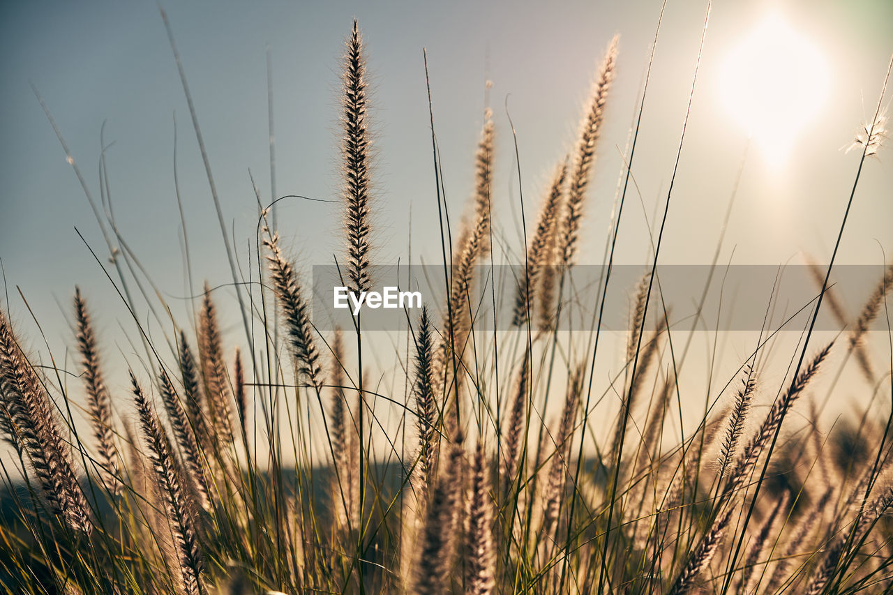 growth, field, nature, crop, cereal plant, agriculture, plant, rural scene, tranquility, tranquil scene, farm, wheat, outdoors, beauty in nature, no people, day, sky, ear of wheat, sunlight, scenics, close-up, grass, freshness