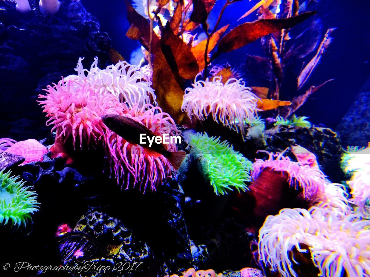 underwater, sea life, water, animal themes, coral, undersea, sea, animals in the wild, no people, swimming, beauty in nature, nature, aquarium, animal wildlife, close-up, clown fish, sea anemone, day