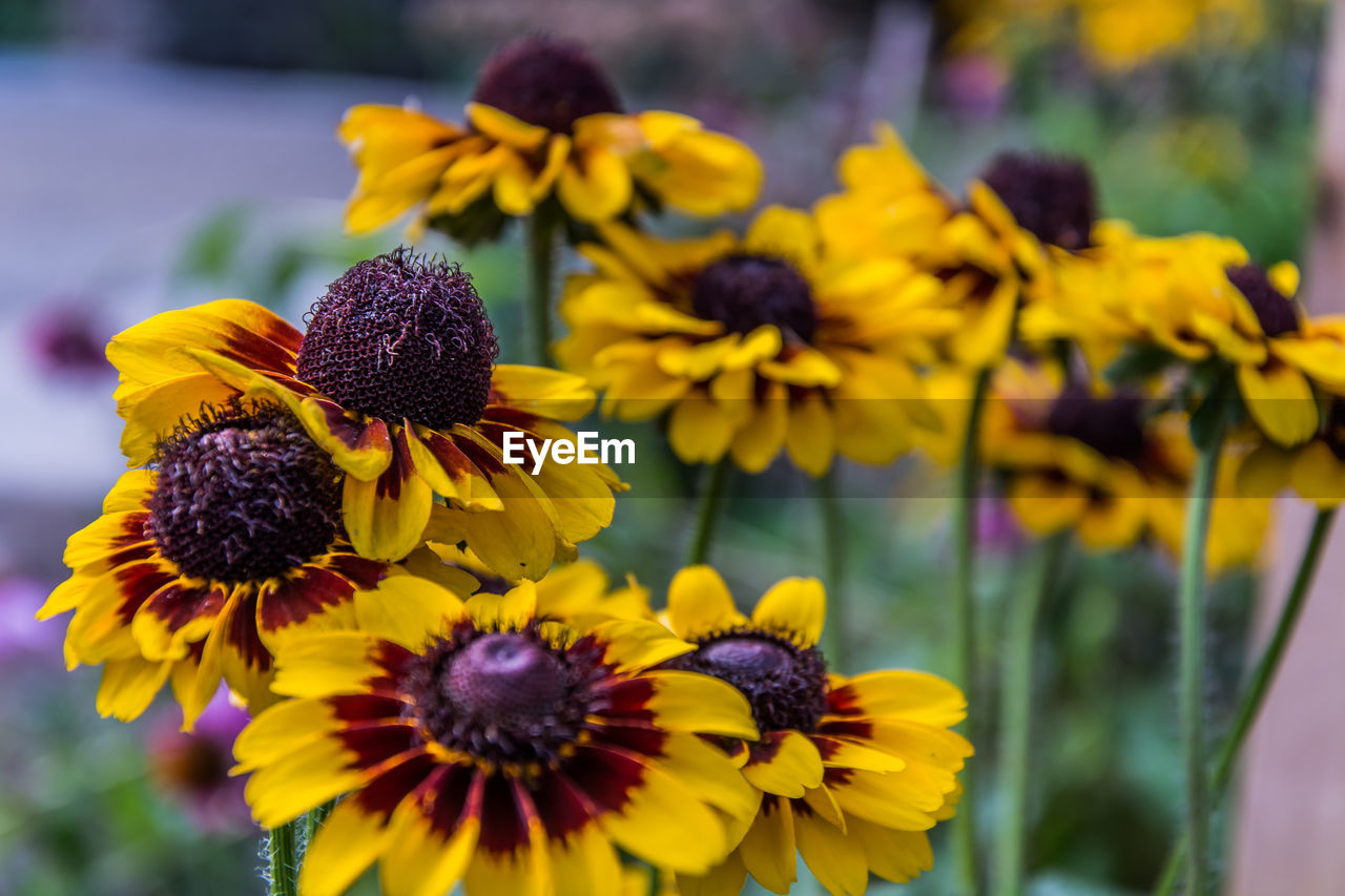 flower, fragility, yellow, petal, beauty in nature, freshness, growth, nature, flower head, plant, blooming, day, focus on foreground, no people, outdoors, springtime, close-up, black-eyed susan