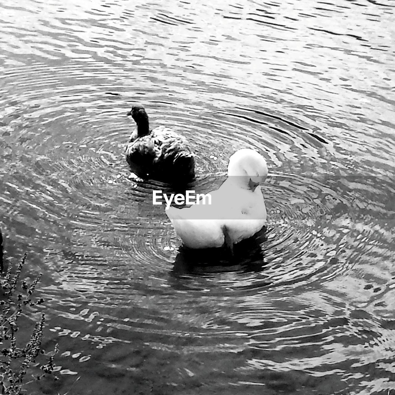 animal themes, swimming, water, animals in the wild, lake, waterfront, rippled, bird, no people, nature, water bird, day, swan, outdoors