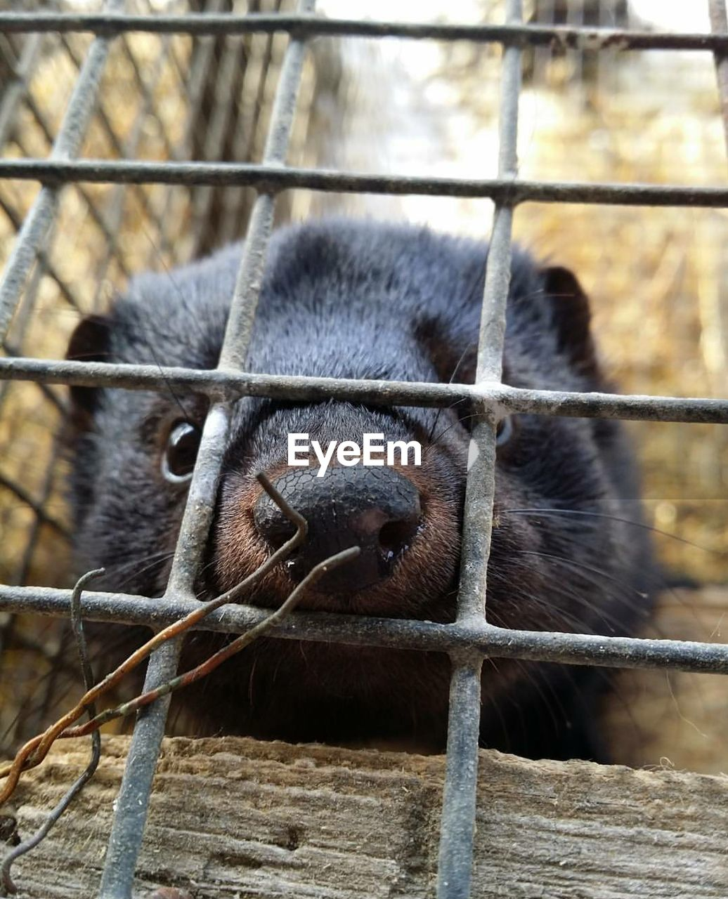 Portrait Of Feret In Cage At Zoo