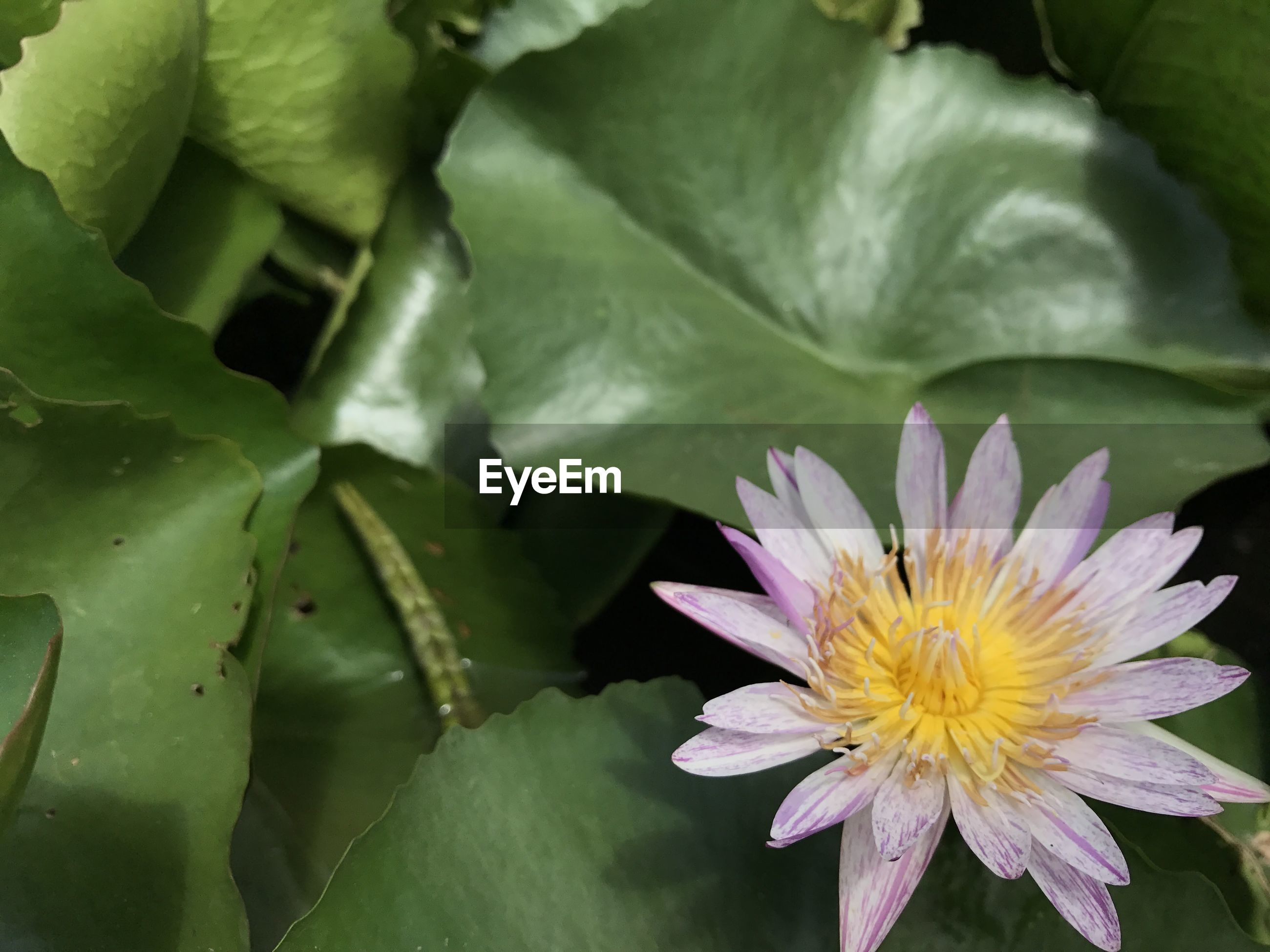 CLOSE-UP OF LOTUS WATER LILY BLOOMING