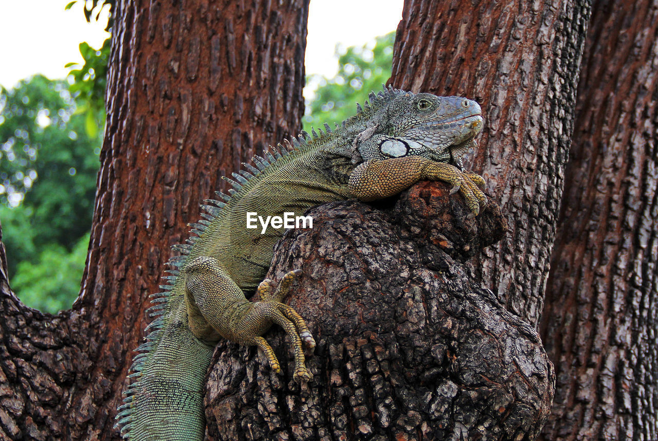 animal themes, tree, animal, animal wildlife, animals in the wild, reptile, trunk, tree trunk, vertebrate, one animal, lizard, plant, no people, focus on foreground, close-up, nature, day, textured, branch, outdoors, iguana, animal scale