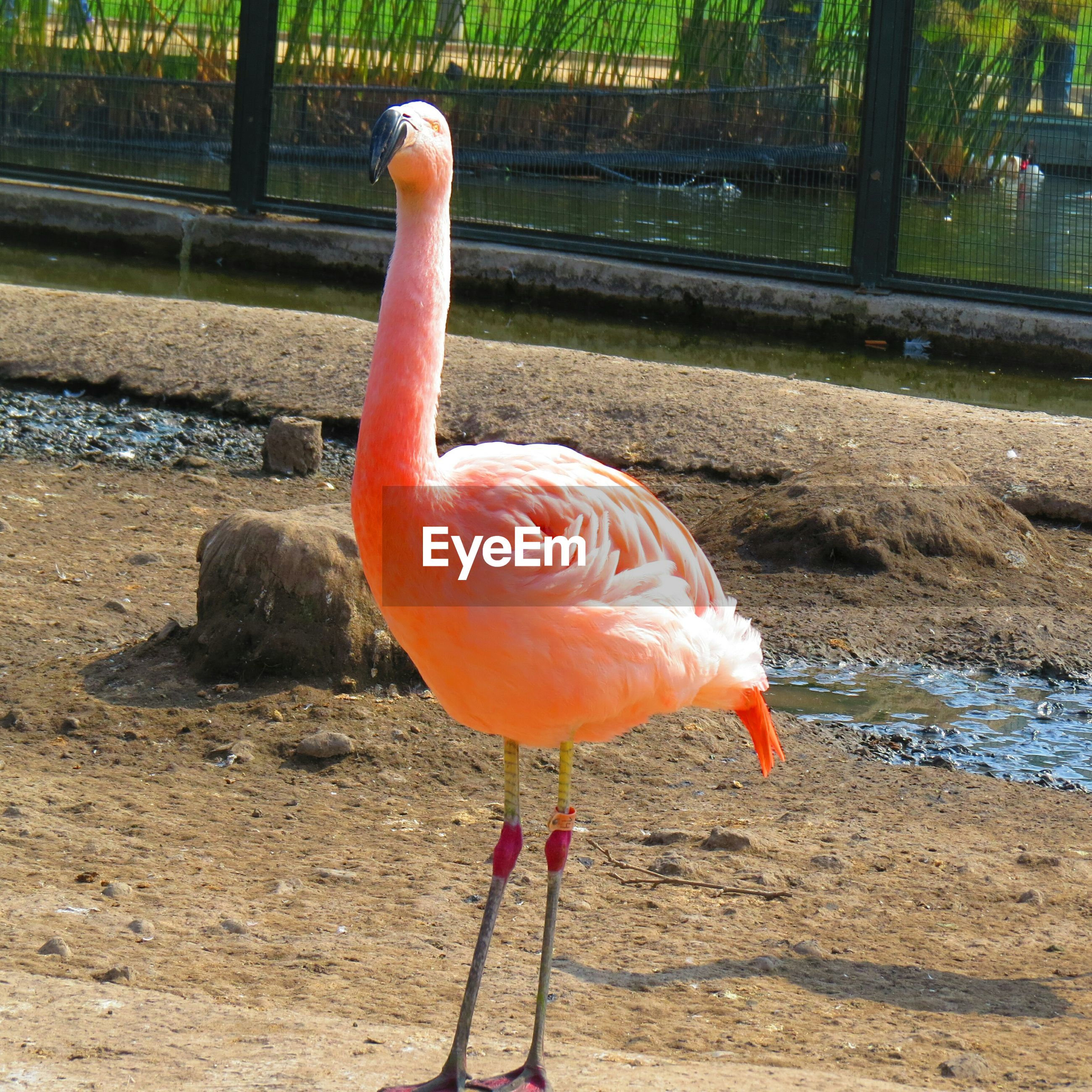 bird, animal themes, close-up, orange color, wildlife, animals in the wild, outdoors, focus on foreground, day, sunlight, flamingo, red, no people, nature, one animal, metal, beak, full length, railing, fence