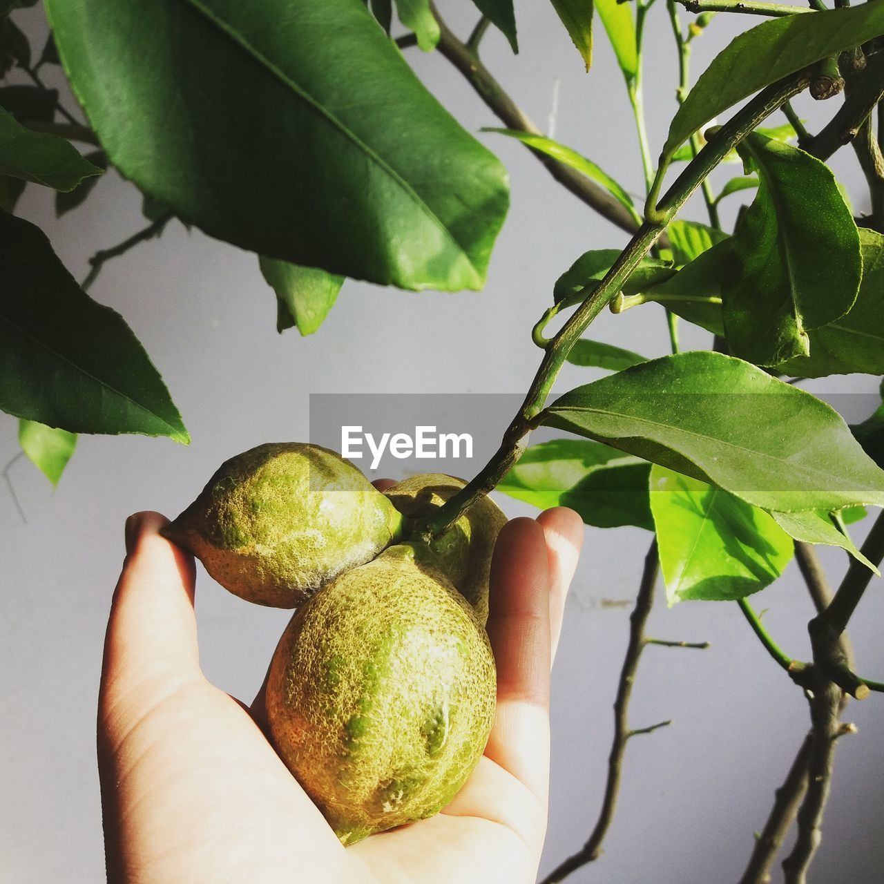 leaf, fruit, human hand, green color, food and drink, food, holding, freshness, healthy eating, growth, human body part, plant, one person, real people, outdoors, day, close-up, citrus fruit, nature, tree