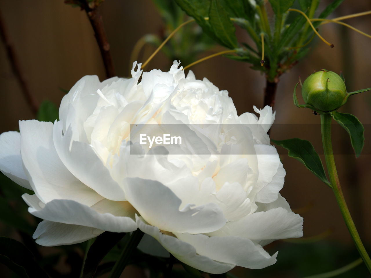 CLOSE-UP OF WHITE ROSE ROSES