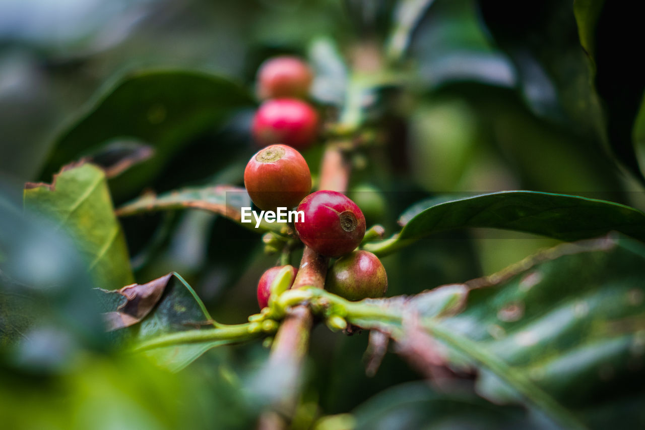 fruit, healthy eating, food, growth, selective focus, food and drink, close-up, leaf, plant part, plant, freshness, green color, nature, day, wellbeing, no people, red, beauty in nature, tree, fruit tree, outdoors, ripe